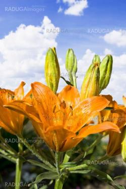 Beautiful lilly on blue cloudy sky background