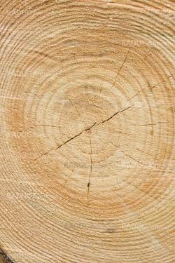 Golden timber tree rings