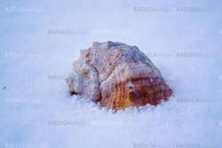 Sea shell in snow