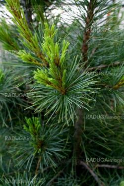 Branches of the pine tree