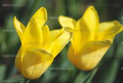 Two yellow tulips close up ,flowers background