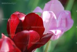 Two red and pink  tulips ,flowers background