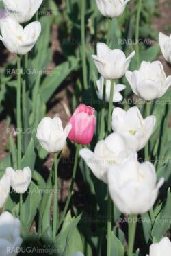 One pink tulip on white tulips in background