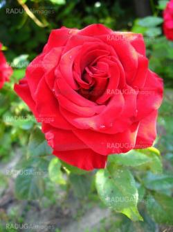 a beautiful flower of red rose